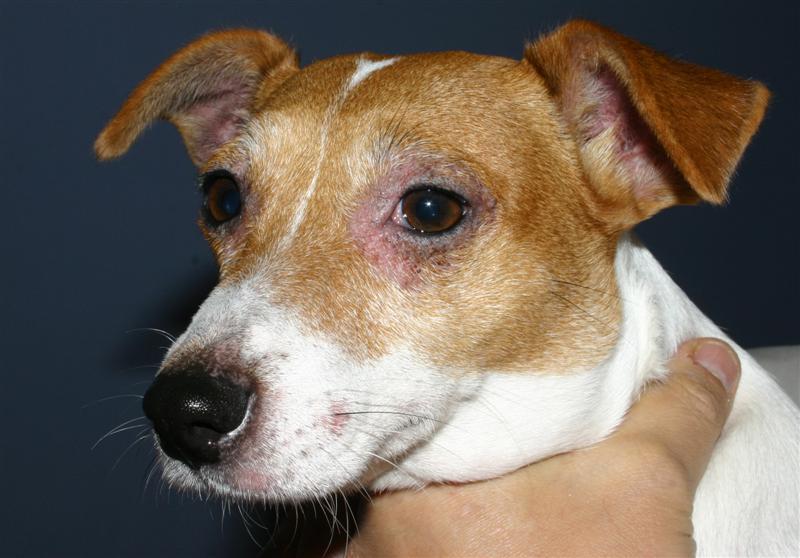 Allergies (Dermatite Atopique Canine, allergie alimentaire