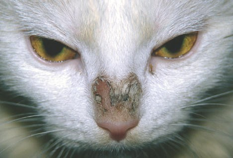 Cat Skin Ringworm Pictures