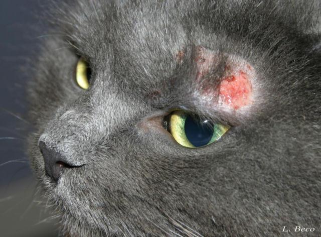 la gale du chat symptome