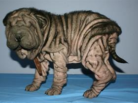Juvenile demodectic mange (before treatment) (demodex)