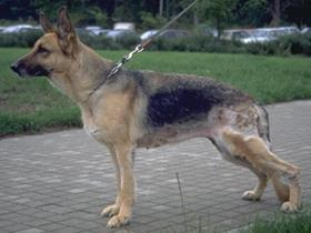 German shepherd dog pyoderma