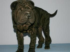 Juvenile demodectic mange (Shar Peï after treatment)