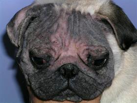 Facial alopecia in a Pug (demodex)