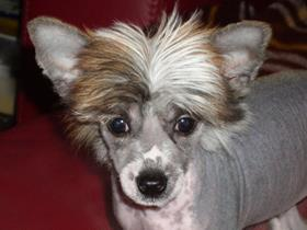 """Igor"" - Chinese Crested Dog"
