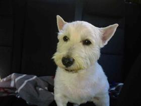 Scotty - West Highland White Terrier