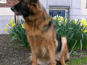 Cheyletiellosis in a German Sheppherd