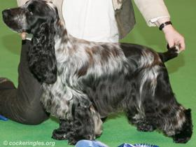 Cocker Spaniels - Links