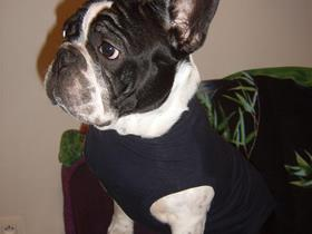 "French Bouledogue ""Romeo"""