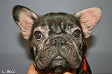 French Bouledogue (canine atopic dermatitis)