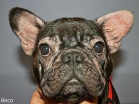 An allergic French Bouledogue