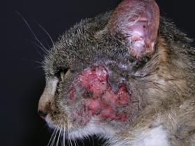 Eosinophilic plaque - Food allergy - Allergic cat