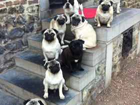 Our pugs: Eleonore, Josephine, Victor, Marie, Charlotte, Arthur, Valentine, Berlioz and our French Bouledogue Edgard