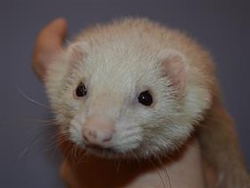 Ferret - The alopecic ferret