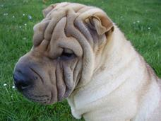 Shar Peï : an atypical breed