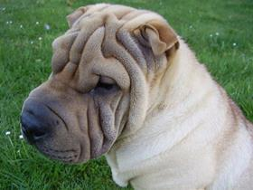 Shar Peï: an atypical breed
