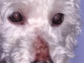 Hypothyroidism in a Bichon