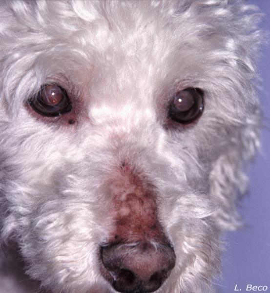 Pictures Of Dogs With Hypothyroidism