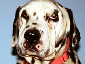Hypothyroidism in a Dalmatian dog: puffy face and myxedema