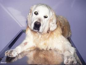 Hypothyroidism in a Golden retriever with vestibular syndrom