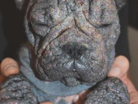 """Moon"" French Bouledogue affected by juvenile demodicosis ""Moon"" French Bouledogue affected by juvenile demodicosis and secondary pyoderma"