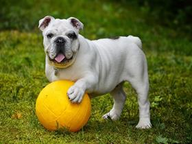 English Bulldogs - Idiopathischer Kopftremor in English Bulldogs