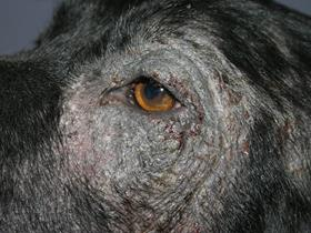 Adverse food reaction in dogs: chronic lesions
