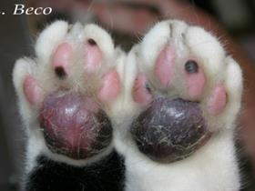 Plasmacell pododermatitis in cats