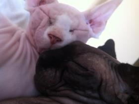 Alex et Cosmo : Sphynx cats