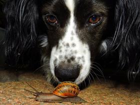 Angiostrongylosis in dog eating slugs ...