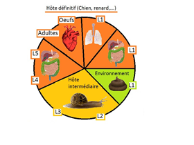 Angiostrongylus: the parasitic cycle