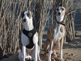 Molly et Lewis Whippets
