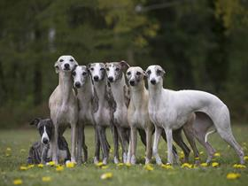 Whippets of Cyly of Course (Photo Arioko)