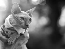 Eliot the Sphynx cat - Miss Vicki Stibert and Eliot the Sphynx cat
