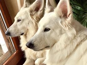 Kenna and Kinou - Swiss Shepherd
