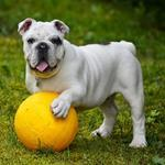 English Bull Dog - Idiopathic Head Tremor in English Bulldogs