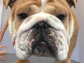 Hypertype in an Exotic Bulldog