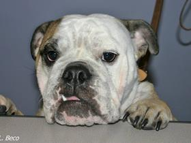 English bulldog - Brachycephalic syndrome - the soft palate but not only - Bulldog - Bull Dog - Pug